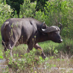 Water buffalo | Ty Pennington's Tanzanian Dream