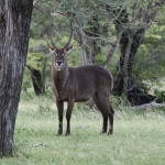 Curious water buck | Ty Pennington's Tanzanian Dream
