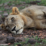 The lion sleeps tonight | Ty Pennington's Tanzanian Dream
