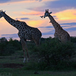 Giraffe sunset | Ty Pennington's Tanzanian Dream