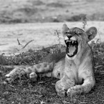 Wildcat | Ty Pennington's Tanzanian Dream