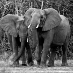 Two tusks | Ty Pennington's Tanzanian Dream