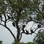 Buzzard bunch | Ty Pennington's Tanzanian Dream