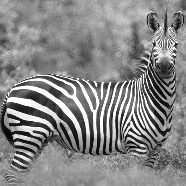 Z is for zebra | Ty Pennington's Tanzanian Dream